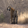 Tigress At Rajbagh Talao