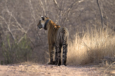 Tigress At Rajbagh Talao