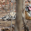 Tigress Yawning At Ranthambhore