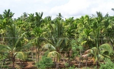 Tiptur Coconut Plantation