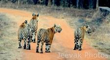 Trails In Tadoba Tiger Reserve