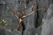 Tree In Rock At Tsingy De Bemaraha