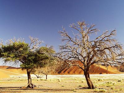 Trees In Sossusvlei - Namib Desert