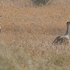 Two Great Indian Bustards