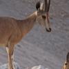 Two Nubian Ibexes