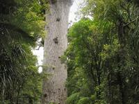 Waipoua Floresta