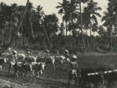 Teams Of  Bullocks  Ploughing At  Adyar