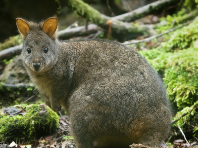Tasmanian Pademelons Inhabit The Park
