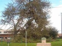 Treaty Oak