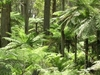Tree Ferns In Werrikimbe National Park