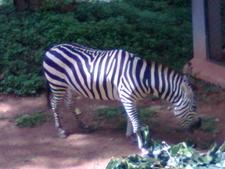 Zebra Enclosure
