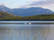 Trumpeter Swans On Lower Ohmer Lake