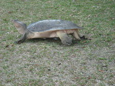 Turtle Laying Eggs At Shark Valley