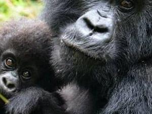 Gorilla Trekking, Bwindi, Uganda (March 2020) Photos