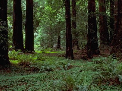 Undergrowth In The Muir Woods National Monument