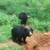 Ursus Ursinus Sloth Bear