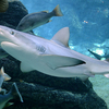 A Blacktip Shark In The Shark Aquarium