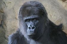 Western Lowland Gorilla At The Ueno Zoo