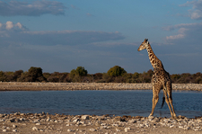 View Giraffe In Etosha National Park