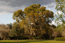 View Oak In Harry P Leu Gardens - Orlando