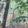 View White-Tail Deer Near Hagerman ID