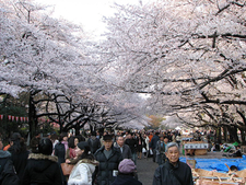Visitors Enjoying The Cherry Blossoms