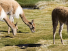 Grazing Vicuñas