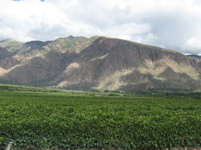 Vineyards Of Cafayate