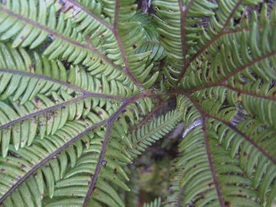 Waitonga Falls Fern Plant