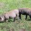 Warthogs In Ngorongoro Crater Safari