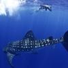 Whale Shark At Utila