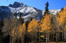 Wheeler Peak Behind Changing Aspen