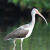 White Ibis - Weedon Island Preserve