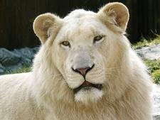 White Lion At ZOO Bratislava