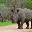 White Rhino ,Kruger NP