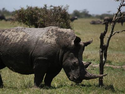White Rhino Ol Pejeta