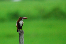 White-Throated Kingfisher - Sundarbans