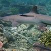 Whitetip Reef Shark At Tubbataha