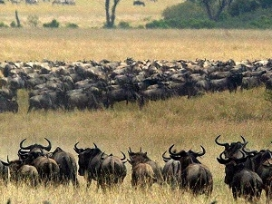 3 Days Wildebeest Migration A Spectacle of A Lifetime July To Oct Fotos