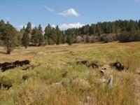 Wildcat - High Meadow
