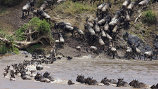 Wildebeest Crossing River