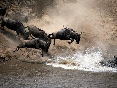 Wildebeest Leap