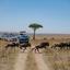 Wildebeest Safari