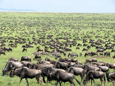 Wildebeest Stock