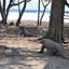 Wild Komodo Dragon - Komodo Island
