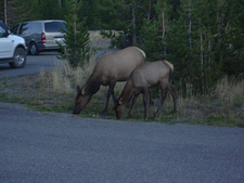 Wildlife Near GrantVillage Visitor Center - Yellowstone - Wyomi
