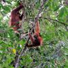 Wild Orangutans Near Bukit Lawang