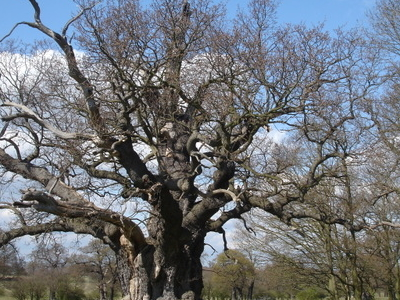 One Of Many Ancient Oak Trees