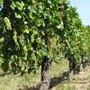 Wirtz Vines OR