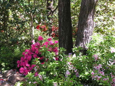 Azaleas In The Camellia Garden